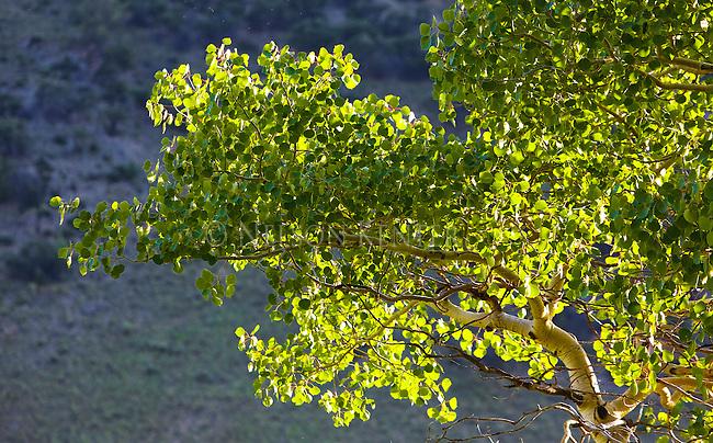 Sunlight on aspen leaves