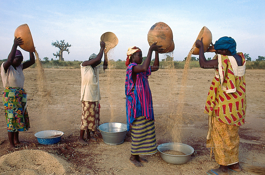 Mali. Province of Segou. Kondogola. Women at work in the fields. Sorghum winnowing. The sorghum is a tropical graminaceous.  © 2003 Didier Ruef