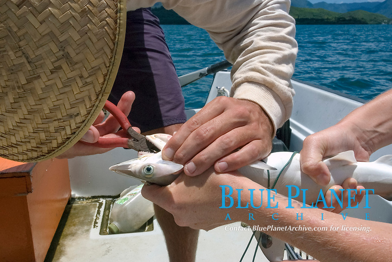 Research scientists taking hook off hammerhead shark pup, Sphyrna lewini, Hawaii Institute of Marine Biology, Kaneohe, Oahu, Hawaii