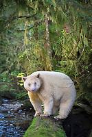 Kermode bear, or spirit bear, Ursus americanus kermodei, a rare, leucistic subspecies of American black bear, Ursus americanus, white or cream color due to a double recessive gene unique in the subspecies, Great Bear Rainforest, scared site of the Gitga'at Bation, British Columbia, Canada