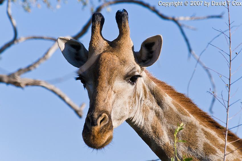 South African Giraffe, Chobe NP, Botswana
