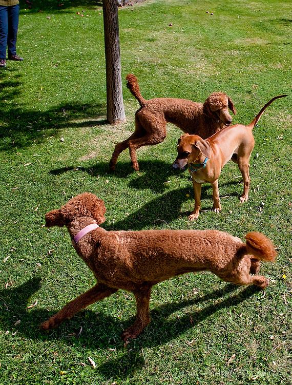 Poodle action, Rancho Jacon, New Mexico.