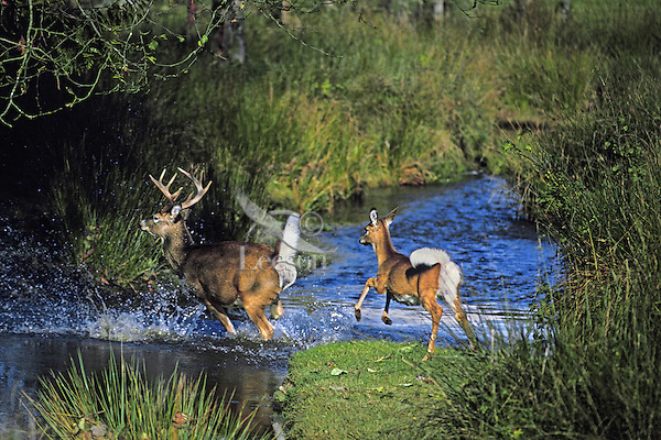 White-tailed deer run across stream in early fall.