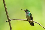 Blue-chested Hummingbird (Amazilia amabilis) sub-adult male, Panama Rainforest Discovery Center, Gamboa, Panama