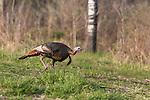 Eastern wild turkey - male