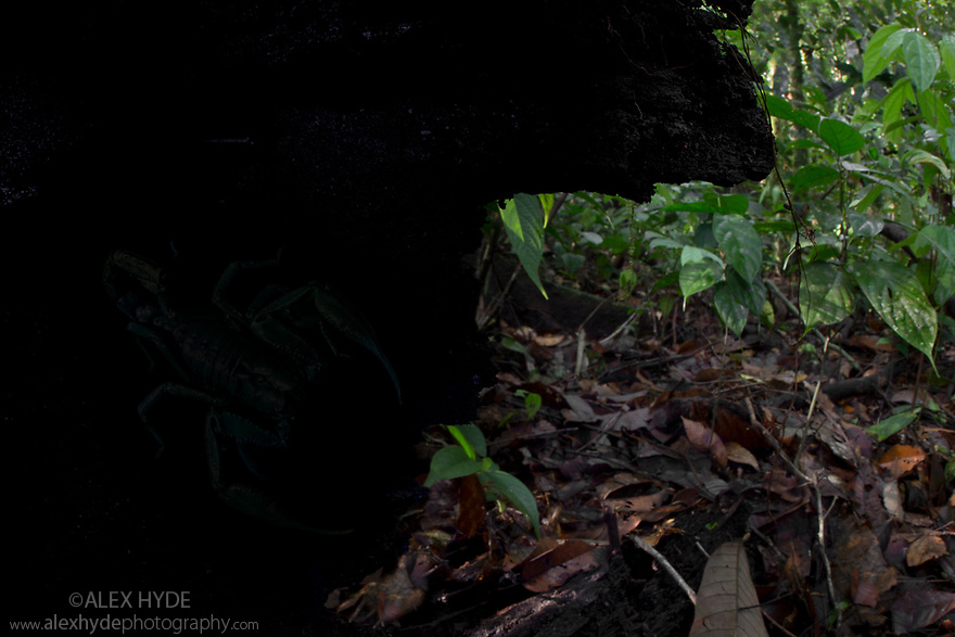 Sequence 1 of 2 - Giant Black Forest Scorpion (Heterometrus sp.) barely visible, hiding in hollow log. Danum Valley, Sabah, Borneo. June.