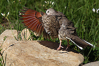 The Inca Doves rufous wings are only visible in flight..<br /> Or Hip-Hop mode :)<br /> I observed the bird do a series of quick up and down hops/flutters as it attempted to dry itself from a dip. The small white wildflowers background are Crows Poison.