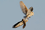 """A kestrel makes grab for 'no lunch' after looking but failing to ambush a barn owl which had already eaten it's catch in the long grass.<br /> <br /> Local Geoff Pain, 71, spotted the pair only 5 minutes away from his home in Settle in North Yorkshire. <br /> <br /> He said, """"The kestrel had seen the barn owl fly down into the grass so it flew across to a nearby post to await its chance. As soon as the owl emerged from the grass it was after it to try and relieve it of its prey only this time it was out of luck as the owl had either failed to catch anything or had already eaten its catch""""<br /> <br /> """"I suspectted the owl had caught a vole as did the kestrel as it was was waiting for the owl to reappear for about 2 minutes.  The kestrel was after the owl for the food. In the end they went their seperate ways""""<br /> <br /> Please byline: Geoff Pain/Solent News<br /> <br /> © Geoff Pain/Solent News & Photo Agency<br /> UK +44 (0) 2380 458800"""