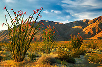 Ocotillo (Feuquieria splendens) in bloom. Anza Borrego Desert State Park, California