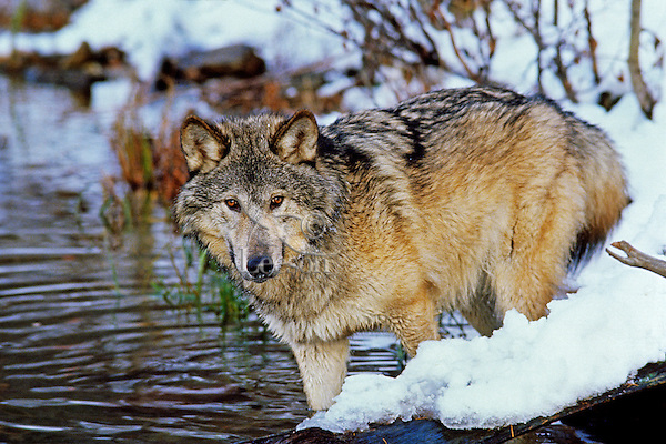 Gray wolf (Canis lupus) along edge of snow covered pond.