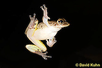 0201-0926  Cuban Treefrog on House Window at Night Hunting for Insects (Cuban Tree Frog), Osteopilus septentrionalis  © David Kuhn/Dwight Kuhn Photography