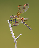 Calico Pennant (Celithemis elisa) Dragonfly - Juvenile Male, Cranberry Lake Preserve, Westchester County, New York