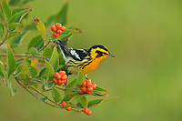 Blackburnian Warbler (Dendroica fusca), male perched on Berlandier's fiddlewood (Citharexylum berlandieri), South Padre Island, Texas, USA