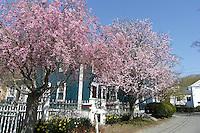 Weeping Cherries as seen during a Spring Walk in Wickford Village