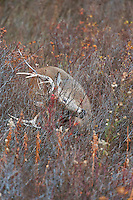 White-tailed Deer buck (Odocoileus virginianus) tearing up bushes with antlers during fall rut, Western U.S., Late Fall.