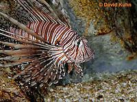 "0106-08xx  Red Volitan Lionfish ""Venomous Spines on Fish"" - Pterois volitans © David Kuhn/Dwight Kuhn Photography"