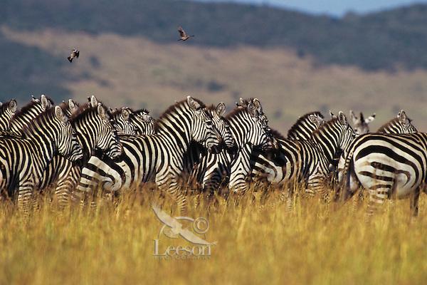 Burchell's Zebra or Plains Zebra (Equus burchelli), Africa.  Serengeti Plains, Tanzania.