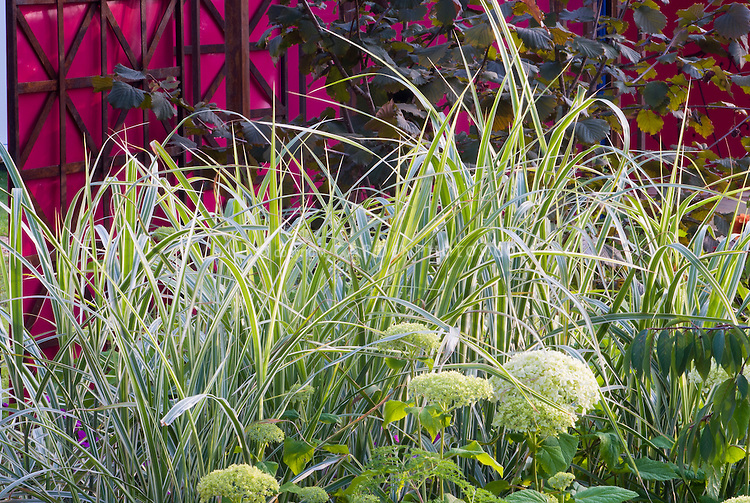 Miscanthus sinensis variegatus ornamental grass with hydrangea, wall, trellisg