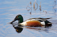 Northern Shoveler (Anas clypeata) drake.  Pacific Northwest.