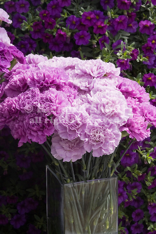 Genetically Altered Carnations, Dianthus cv.
