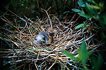 Tricolored Heron chick laying in nest.