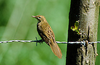 Feldschwirl, Feld-Schwirl, Schwirl, Locustella naevia, grasshopper warbler