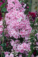 Phlox maculata 'Natascha' Meadow Phlox, pink and white striped flowers fragrant, for scented garden