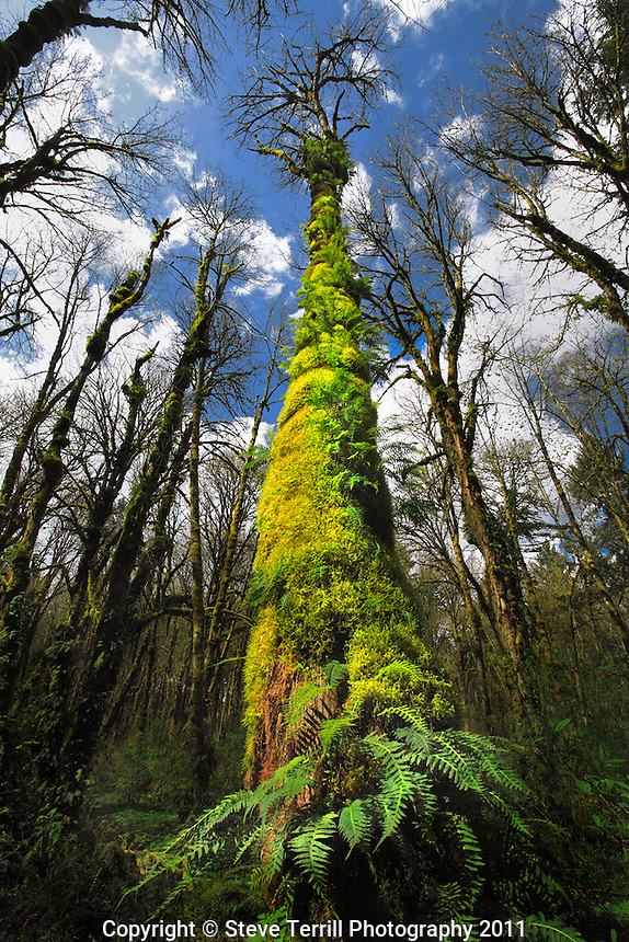 Moss and fern covering trunk of evergreen tree in Tryon Creek State Park, Oregon