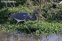 0126-08yy  Tricolored Heron Hunting for Prey with Fish in Beak, Egretta tricolor  © David Kuhn/Dwight Kuhn Photography