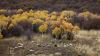 Flock or Herd of Sheep Grazing among Aspen Trees, Routt National Forest, Colorado