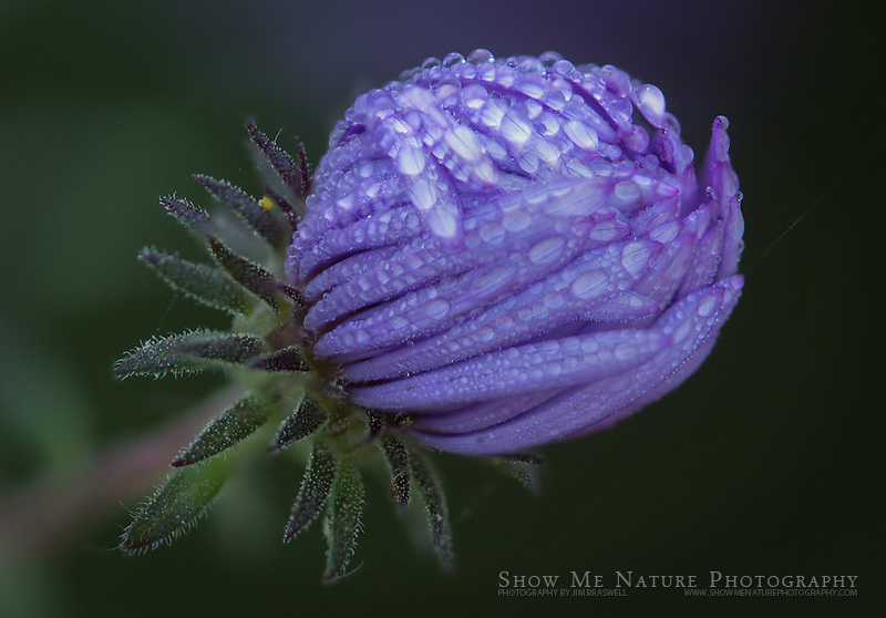 Dew-covered Aster wildflower
