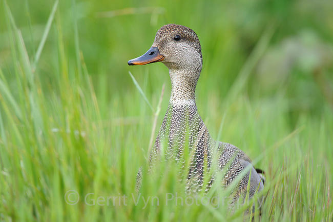 Adult male Gadwall (Anas strepera) loafing in grass. King County, Washington. May.