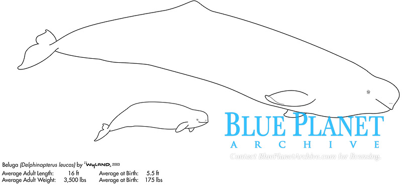 Beluga whale, Delphinapterus leucas, cow and calf, illustration by the artist Wyland