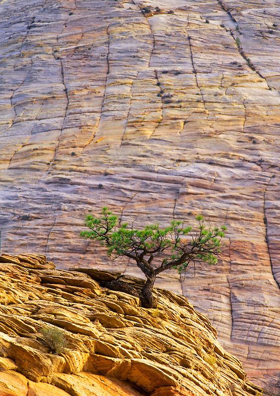 Lone Ponderosa Pine tree in sandstone cliff. Zion National Park, Utah