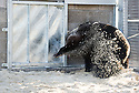 Peggy the European Brown Bear rescued from a circus in Belgium scrapes at the ground outside the pen of another bear after getting a scent. Peggy and two other bears, Carmen and Suzy, will be allowed to familiarise themselves with their new surroundings in the compound before being released into their custom built bear compound at the Five Sisters Zoo in West Lothian.