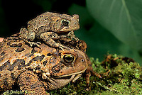FR11-089z  American Toad -  young and adult toads - Anaxyrus americanus, formerly Bufo americanus