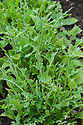 Rocket leaves are prone to damage from slugs, snails and pigeons.