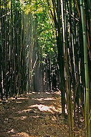 Ray of sunshine shines on the trail of the bamboo forest at the seven pools in HALEAKALA NATIONAL PARK on Maui in Hawaii