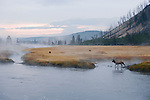 Bull elk crossing the Madison River to cows grazing in the fog on the other side in Yellowstone National Park, Wyoming.
