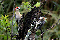 CALI - COLOMBIA, 20-06-2016: Carpintero corona roja especie de ave presente en el oeste de Cali. / Red-crowned Woodpecker bird species present in western Cali Cali. Photo: VizzorImage/ Gabriel Aponte / Staff
