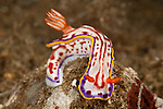 A Chromodoris nudibranch (Hypselodoris kaname).