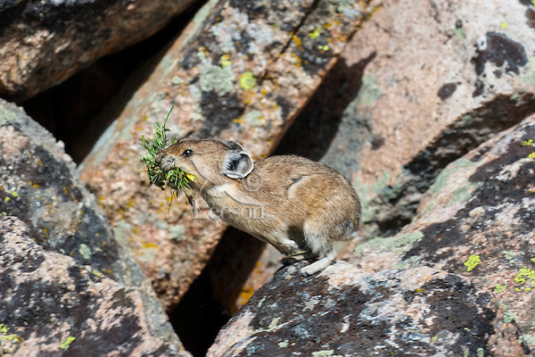American pika (Ochotona princeps) jumping between boulders in its boulder field home with a mouthful of harvested plant material for one of its haypiles (winter food supply).  Beartooth Mountains, Wyoming/Montana.  Summer.  This photo was taken in alpine setting at around 11,000 feet (3350 meters) elevation.