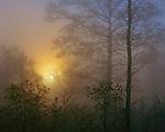 Buffalo National River, AR<br /> Morning sun burning through foggy hardwood forest