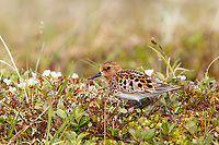 Adult female Spoon-billed Sandpiper foraging in tundra vegetation. Chukotka, Russia. June.