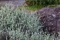 Eriogonum cinereum Ashyleaf Buckwheat gray foliage native perennial in Regional Parks Botanic Garden, Berkeley, California