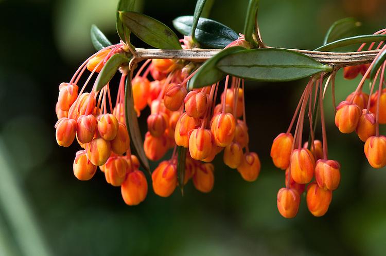 Rich orange flowers of Berberis linearifolia, late March.