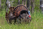Back-to-back tom turkeys strutting for a hen in northern Wisconsin.