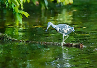 Juvenile Little Blue Heron, Egretta caerulea, hunting in the Tortuguero River (Rio Tortuguero) in Tortuguero National Park, Costa Rica