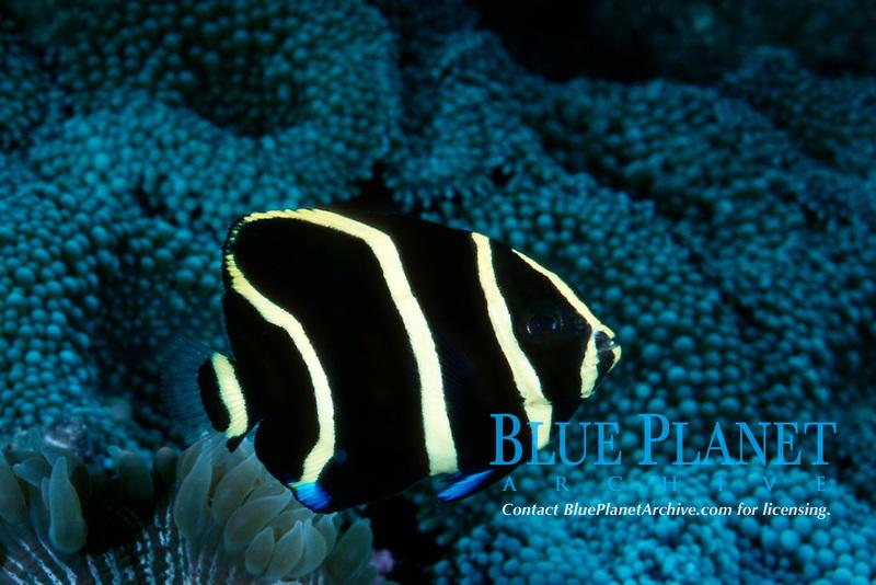 juvenile gray angelfish, Pomacanthus arcuatus (c)