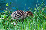 5 day old Eastern wild turkey poult walks through backyard garden under the close eye of her mother.